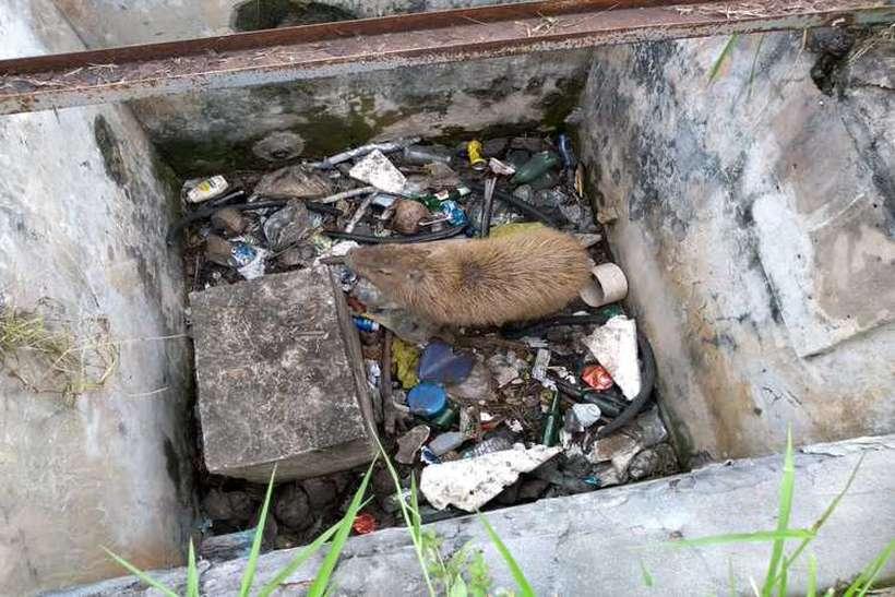 Capivara encontrada dentro de poço em meio ao lixo em área urbana (foto: BPMA/Divulgação)