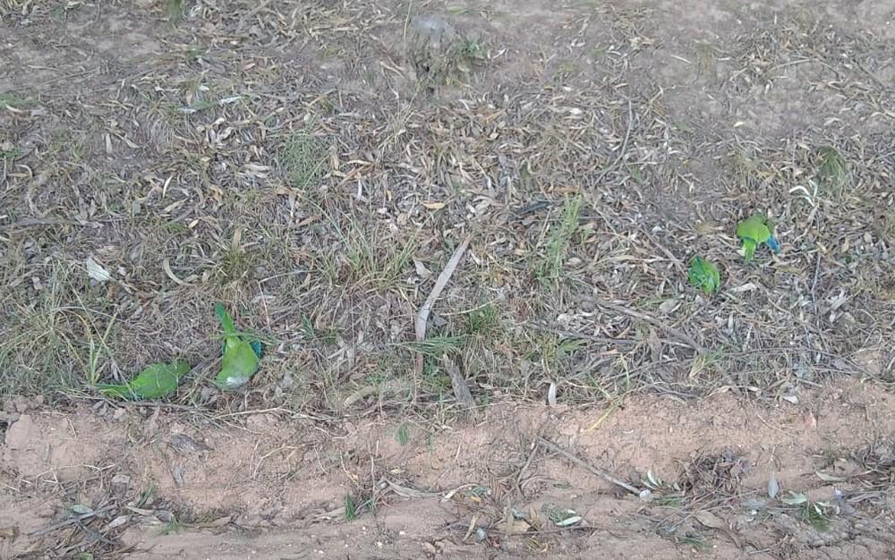 Analista ambiental relatou que aves foram encontradas em bairros distantes — Foto: Ibama/divulgação