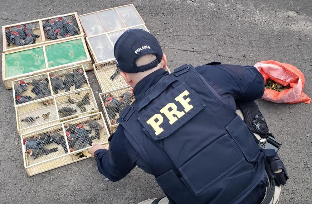 Animais eram transportados em condições precárias na BR-290, em Eldorado do Sul. Motorista foi preso — Foto: Divulgação/PRF