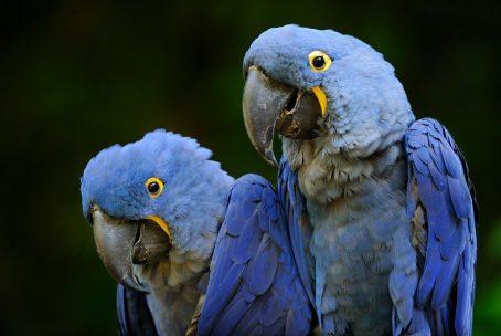 A compra e a venda de araras-azuis capturadas na natureza são proibidas. Embora seja legal comercializar araras nascidas em cativeiro, sabe-se que essas aves têm dificuldade para se reproduzir. Isso gerou uma demanda por ovos retirados da natureza, que são contrabandeados com mais facilidade da América do Sul para a Europa do que as aves vivas. FOTO DE ERIC BACCEGA, NATURE PICTURE LIBRARY