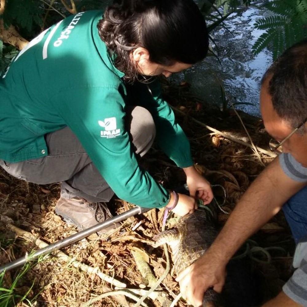 Jacarés estão entre espécies mais resgatadas — Foto: Divulgação