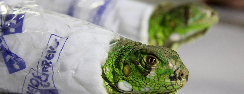 Imagem em destaque: Duas iguanas foram encontradas dentro de uma caixa de Sedex por funcionários dos Correios, em São Paulo. Os animais foram despachados em uma agência da zona leste da capital com destino à Belo Horizonte.