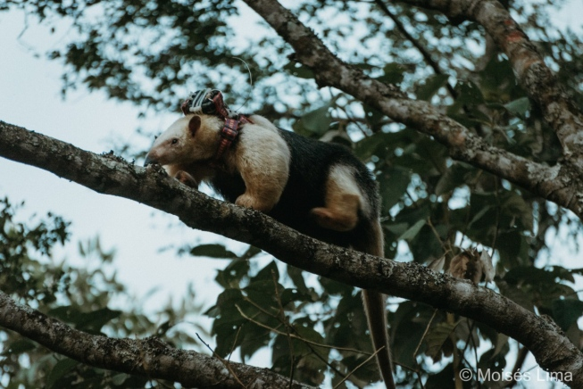Tamanduá de 'mochilinha': equipamento vai permitir monitorar Zeca na natureza