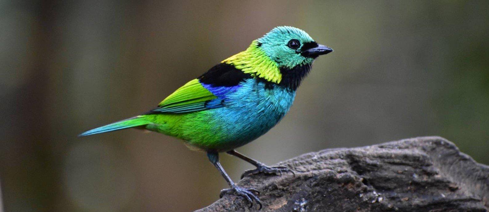 Pássaro Tangara seledon é próximo alvo do tráfico de animais silvestres Foto: Felipe Daniel Rodrigues / Divulgação