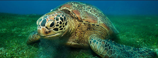 Tartarugas marinhas e o tráfico de animais silvestres(Foto: https://www.worldwildlife.org/)