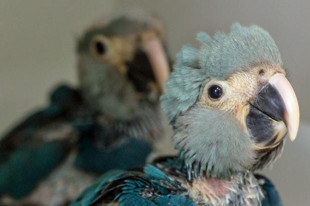 Exemplares de ararinha-azul chegam ao Brasil Foto: Divulgação/ICMBio