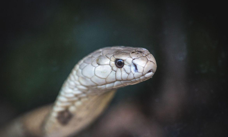 Cobra naja de 1,5 metro que picou um estudante de veterinária em Brasília e está no Zoológico da capital federal Ivan Mattos/ Zoológico de Brasília.