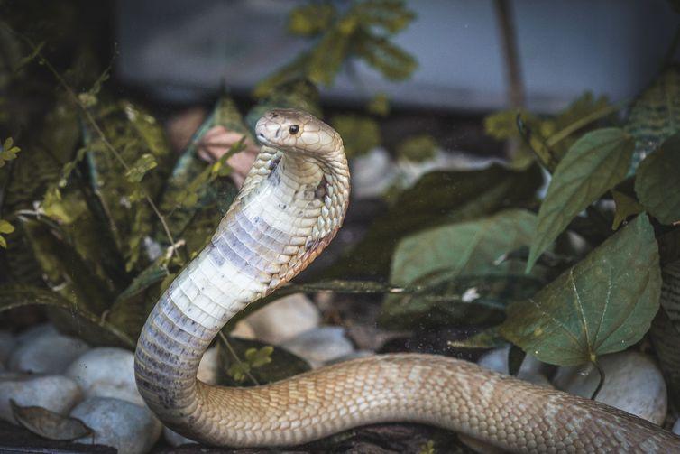 Cobra naja de 1,5 metro que picou um estudante de veterinária em Brasília e está no Zoológico da capital federal