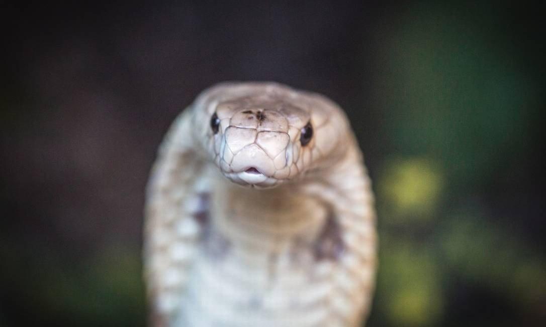 Naja que picou estudante de veterinária no Distrito Federal Foto: Ivan Mattos/Zoológico de Brasília