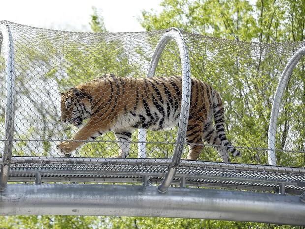 O tigre Amur, do zoológico da Filadélfia, caminha pela nova passarela.Foto: Matt Slocum/AP