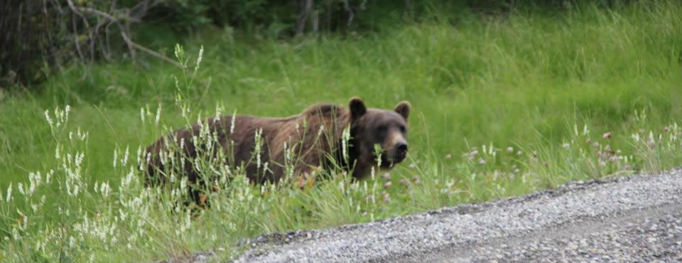 Urso mata funcionária de empresa de petróleo no Canadá