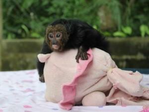 macaco-parauacu_chegou_ao_ibama_em_novembro_de_2013