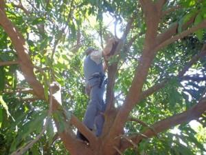 Policial retira armadilha em cima de uma árvore. Foto: Polícia Ambiental de Ibitinga/Divulgação
