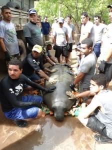 Tratadores preparam mais um peixe-boi para ser devolvido à natureza em Porto de Pedras. Foto: Divulgação