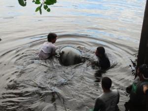 Peixe-boi ganha as águas do Rio Tatuamunha. Foto: Divulgação