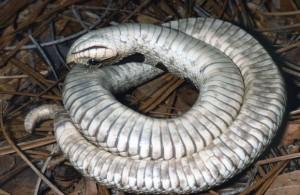 Cobra se fingiu de morta no estado da Flórida. Foto: Reprodução/Facebook/FWC