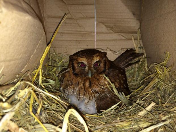 Coruja teve dois filhotes no ninho da galinha. Foto: Valdinei Rodrigues/ RPCTV