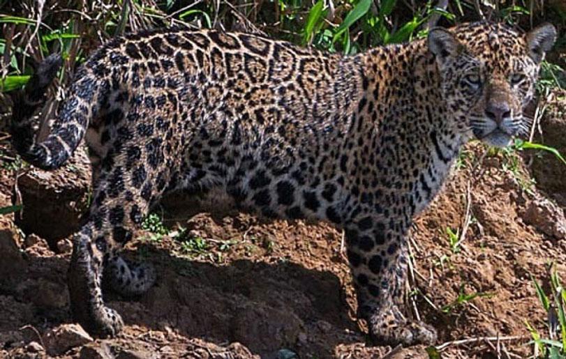 Em foto de 2013, Sally, a onça que provavelmente foi morta por traficantes de droga. uma onça-pintada que vivia no Pantanal no Brasil, quando ela ainda estava viva em 2013. A imagem foi feita por uma turista e ajudou a identificar a carcaça do animal.
