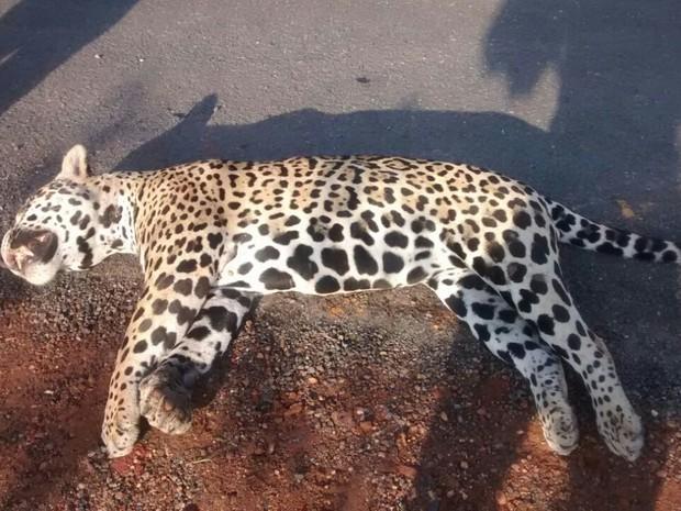 Onça foi encontrada morta e teria sido atropelada por um veículo na BR-153. Foto: Divulgação/Joabe Silva
