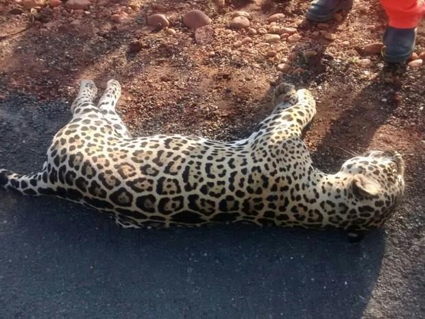 Segundo Polícia Militar de Colinas acidentes com animais silvestres não são comuns no local. Foto: Divulgação/Joabe Silva