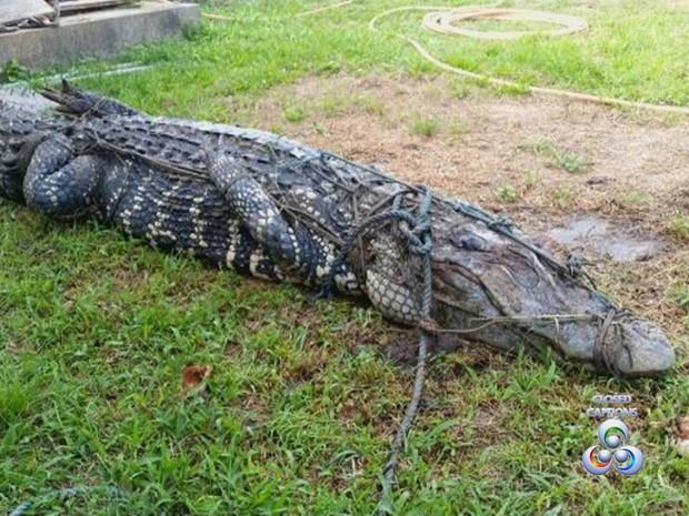 Animal permanece imobilizado até a visita de técnicos do Ibama. Foto: Reprodução/TV Amapá
