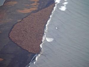 Cerca de 35 mil morsas são vistas na costa do Alasca, próximo a Point Lay, em foto aérea de 27 de setembro.  Foto: AP Photo/NOAA, Corey Accardo