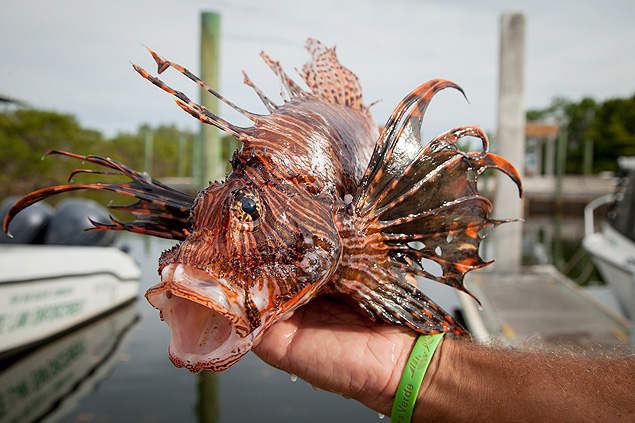 Pesquisador segura exemplar do venenoso peixe-leão; espécie não tem predadores no Atlântico. Foto: Angel Valentin/New YorkTimes