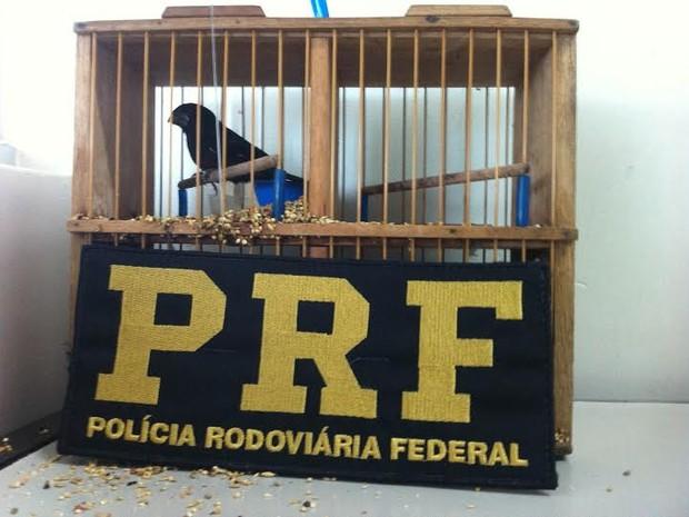 Curió foi encontrado dentro de um ônibus, na Br-153. Foto: Divulgação/PRF TO
