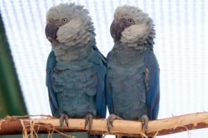 O casal Blue e Flor são os pais dos filhotes nascidos no Brasil. Foto: Eny Miranda/Divulgação