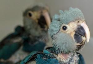 Exemplares de ararinha-azul nasceram em outubro em um centro de conservação no interior de São Paulo. Foto: Divulgação/ICMBio