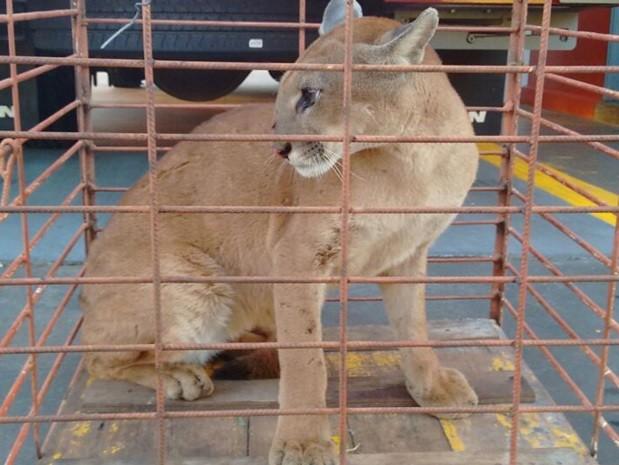 Onça, de grande porte, vai ser solta em mata nas proximidades. Foto: Divulgação / Corpo de Bombeiros