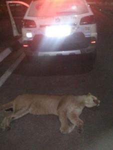 Onça morreu atropelada em rodovia em Águas de São Pedro. Foto: Divulgação/ Guarda Municipal