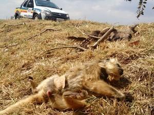 Macaco atropelado na tadre deste sábado (5). Foto: Polícia Militar de Meio Ambiente/Divulgação