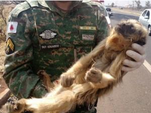 Guarnição ambiental recolheu animais já sem vida na BR-050 no perímetro urbano de Uberlândia. Foto: Polícia Militar de Meio Ambiente/Divulgação