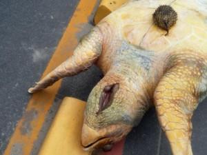 Baiacu foi retirado da garganta de tartaruga encontrada morta em Olinda. Foto: Patrícia Santos/Arquivo pessoal