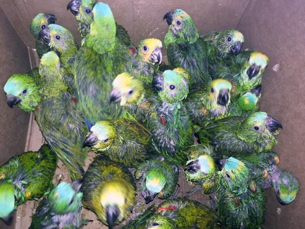 Filhotes de pássaros eram transportados dentro de um carro (Foto: Murilo Zara/TV Fronteira)