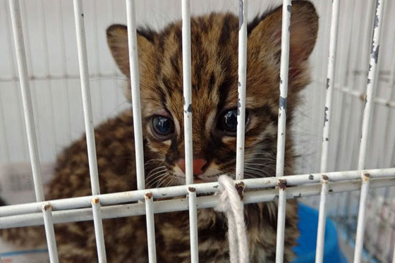 Gato-do-mato Zoey: temperatura e horário das mamadeiras controlados.