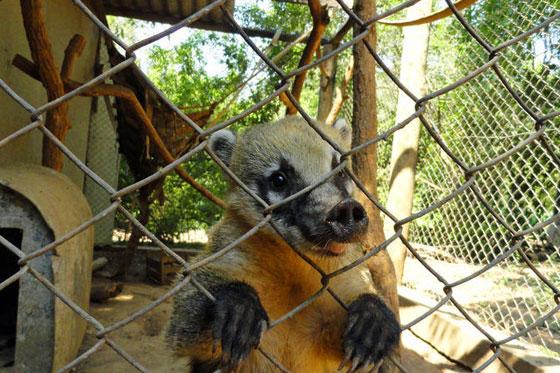 Quati: o animal que não tem condições de ser solto ganha um recinto na ong.