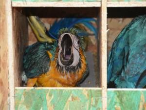Aves foram encontradas em uma casa em Aparecida de Goiânia e seriam comercializadas em Goiás. Foto: Valério Zelaya/Prefeitura de Palmas