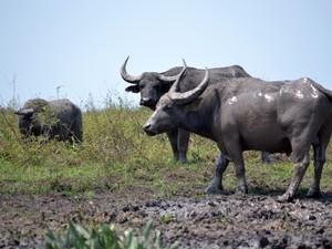 Animais saíram de fazenda e estão sem controle em reserva de RO. Foto:Sedam/Divulgação