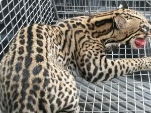 Jaguatirica foi capturada pela Polícia Ambiental. Foto: Marciane Mendes Vieira/ Arquivo Pessoal