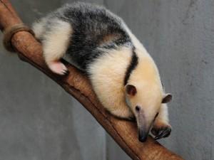 A tamanduá-mirim Babalu sobre um galho, no zoológico de Brasília. Foto: Renato Araújo/Agência Brasília