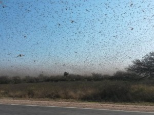 Cerca de 700 mil hectares já foram afetados pelos insetos, a maioria coberto por pasto. Foto: BBC/CRA