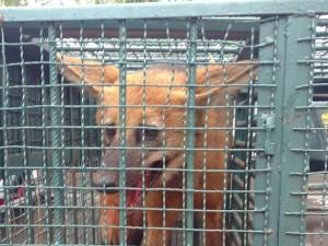 Lobo-guará em uma jaula, após resgate feito pela polícia. Foto: Polícia Militar/Divulgação