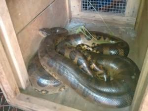 Réptil foi capturado no Bairro Tucuruvi, em Adamantina. Foto: Corpo de Bombeiros/Cedida