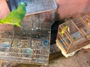 Aves apreendidas pela polícia em Paulo de Faria. Foto: Divulgação/Polícia Ambiental