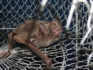 Morcego do tipo Desmodus rotundus é alvo da inspeção da Defesa Agropecuária. Foto: Douglas Marques/ Arquivo Pessoal