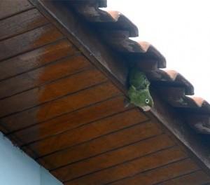 Maritacas ficam presas em telhado de casa em Itajubá. Foto: Luciano Lopes