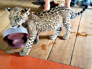 Onça era criada como gatinho por família no interior do Acre. Foto: Divulgação/Polícia Militar