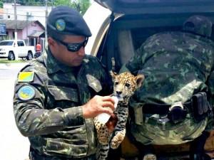 Batalhão Ambiental resgatou a onça, que foi entregue ao Ibama. Foto: Divulgação/Polícia Ambiental